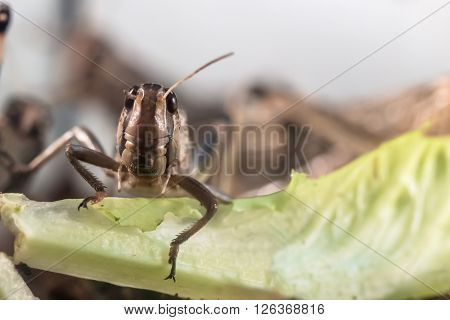 closeup portrait of locust looking at the camera
