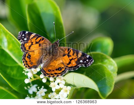 American Painted Lady butterfly (Vanessa virginiensis) feeding on white scrub flowers. Natural green background with copy space.