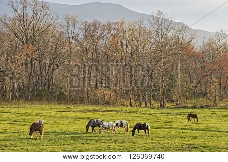 Horses Grazing At Sunset At Cades Cove In The Smoky Mountain National Park