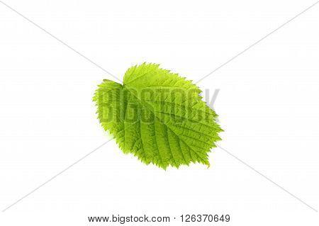 Leaf hazelnut isolated on a white background.