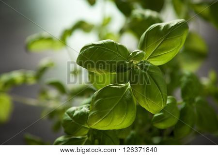 Close-up of a resh green basil plant