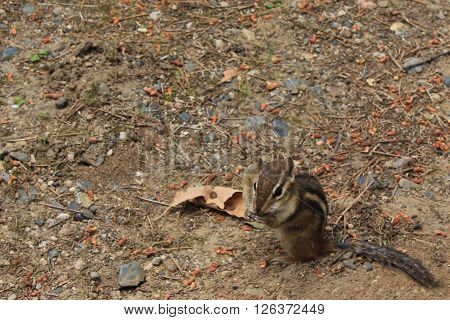 A chipmunk sitting with a peanut in its cheek.