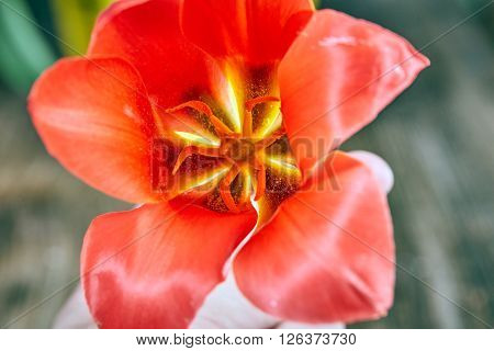 Red Tulip Blossom Above View