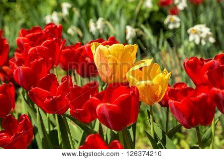 Red Tulips In The Garden Soft Focus
