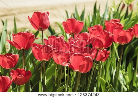 Red tulips in the garden soft focus ** Note: Shallow depth of field