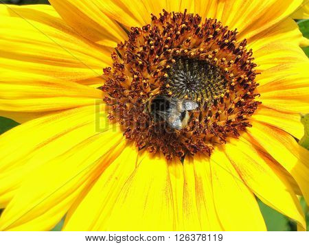 big bumblebee collects nectar on sunflower closeup