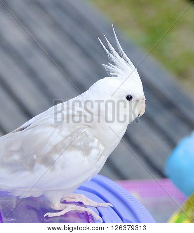 The close view of parakeet at park