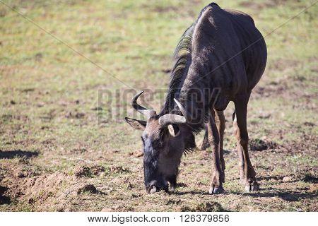 Lone wildebeest bull standing and eat short green grass