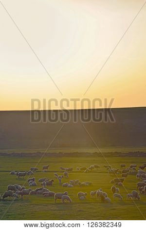 Sunset over field with sheeps