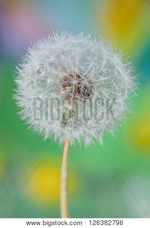 Dandelion close up and dew drops isolated