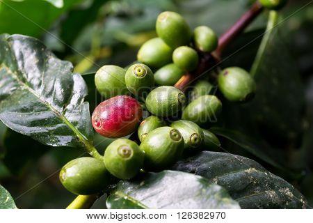 Coffee series : Closeup of coffee berries