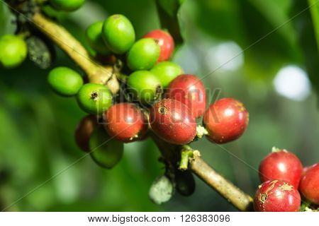 Coffee series : Closeup of coffee berries on coffee plant