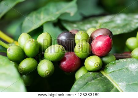 Coffee series Closeup of coffee berries on coffee plant