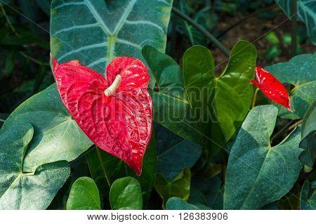 Picture of a Red Anthurium Flower (Anthurium longistamineum)