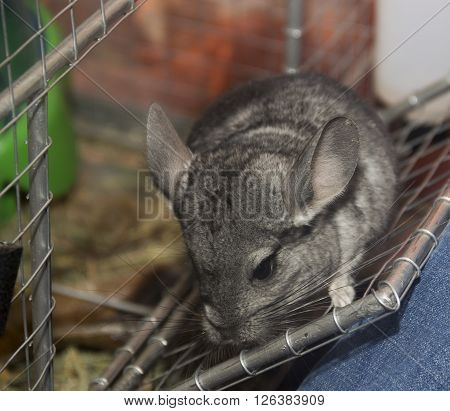close-up the grey chinchilla in the cage