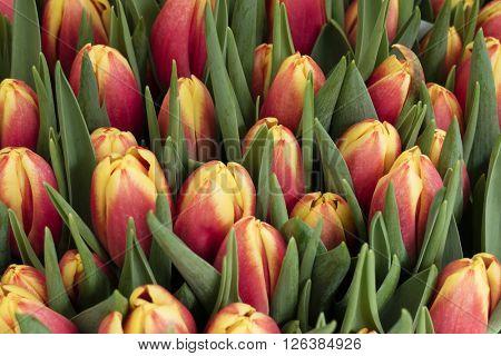 Fresh dutch tulips full frame