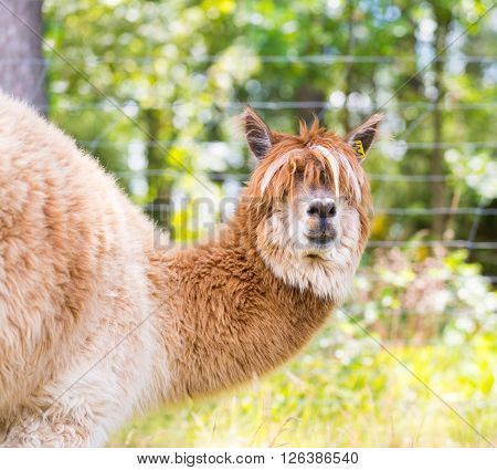 Alpaca In Outdoor