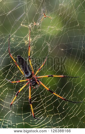 seychelles endemic spider species nephila inaurata on a web
