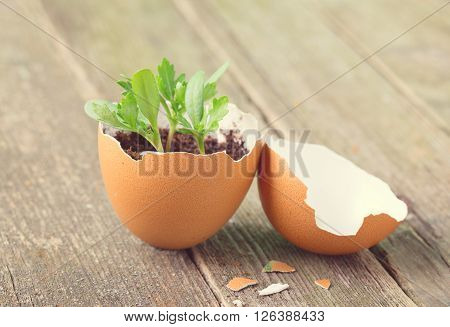 Young sprout in a half of an egg shell. Symbol of origin and development of life and spring. Close up small depth of sharpness