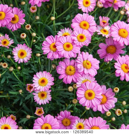 Top-Shot of bright pink and orange Marguerites
