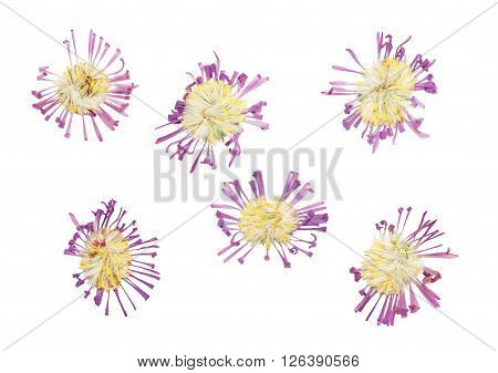 Pressed and dried delicate flower Symphyotrichum novi-belgii (New York aster Aster Alpinus). Isolated on white background.