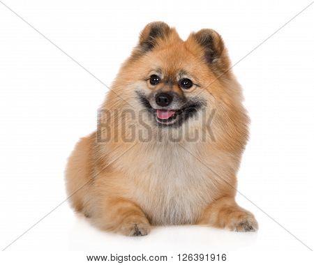 red german spitz dog posing on white