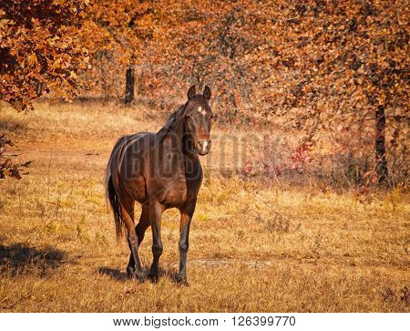 Dark bay Arabian horse walking in sunny, colorful fall pasture, with slight vignette