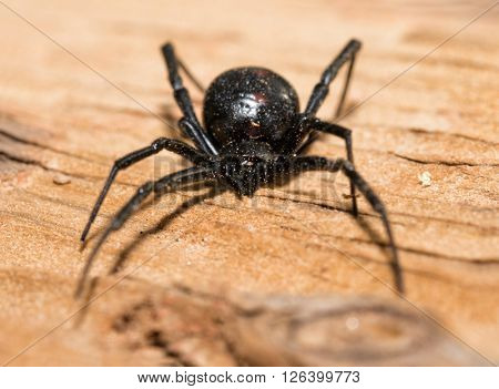 Black Widow spider outdoors on a piece of wood, front view