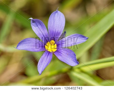 Close up image of a Blue-eyed Grass, Sisyrinchium angustifolium flower in spring