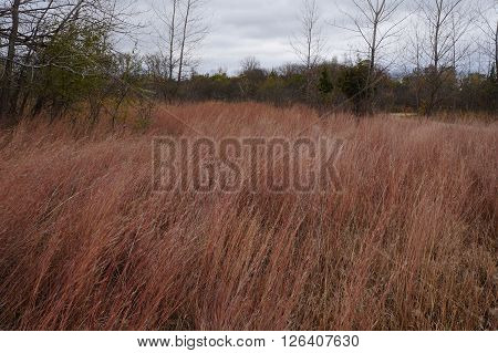 Schizachyrium scoparium, a North American native prairie grass, known as little bluestem or beard grass, in fall color Lake Renwick Heron Rookery Nature Preserve in Plainfield, Illinois.