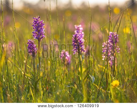 Natural Grass Field With Group Of Wild European Orchids