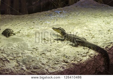 Alligator and turtle sunning on white rock