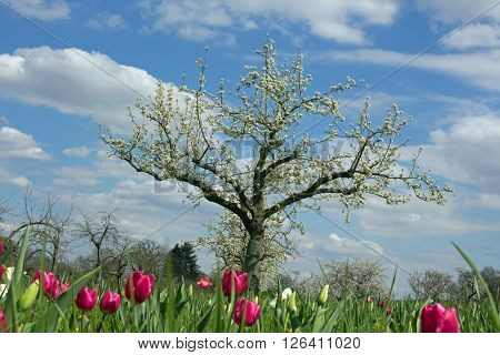Orchard with tulips in spring, blue sky