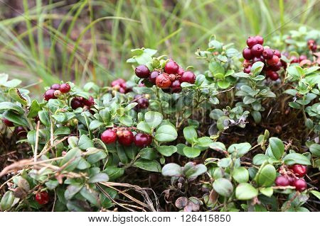 The cowberry grows in the boreal forests of North