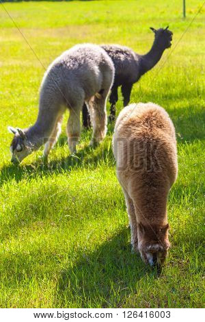 Alpacas on pasture. Animals in farmland eating grass on pasture