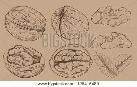 Walnut on light brown background. walnut seeds. Engraved bitmap illustration of leaves and nuts of walnut. Isolated walnut.