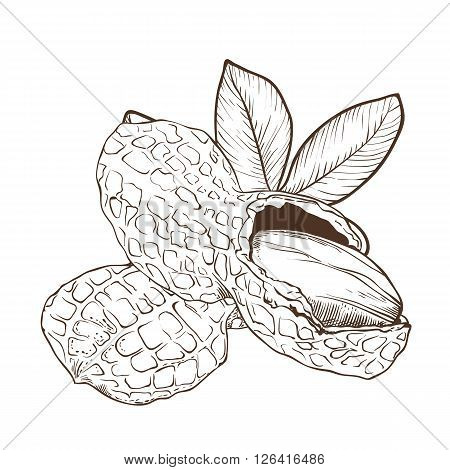 Peanut bitmap isolated on white background. Peanut seeds. Engraved bitmap illustration of leaves and nuts of peanut. Peanut in vintage style.