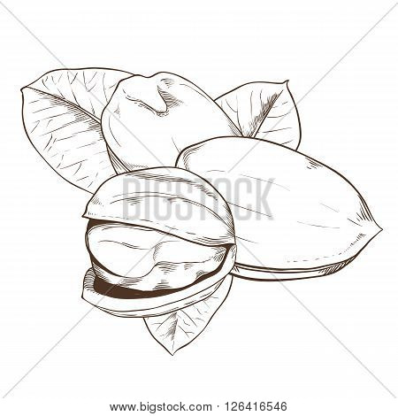 Pistachio bitmap isolated on white background. Pistachio seeds. Engraved bitmap illustration of leaves and nuts of pistachio. Pistachio in vintage style.