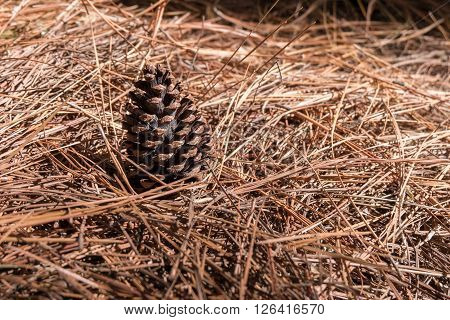 Pine Cone on the needles ground in Coniferous forest