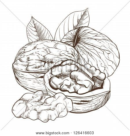 Walnut bitmap isolated on white background. Walnut seeds. Engraved bitmap illustration of leaves and nuts of walnut. Walnut in vintage style.