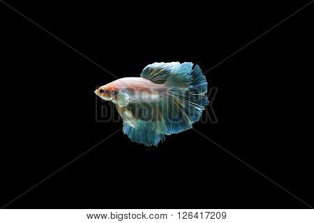 Half moon,siamese fighting fish, isolated on black background