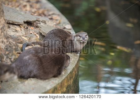 A pair of asian small clawed otters