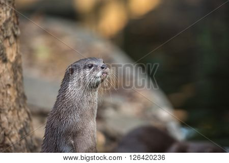 Group of brown asian small clawed otters