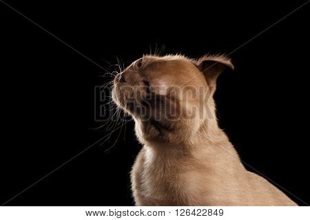 Closeup Portrait of Burmese kitten with Chocolate fur Shakes his head Isolated on black background
