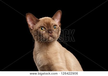 Closeup portrait of Cute Burmese kitten with beige fur Looking up on Isolated black background