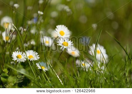 Small Daisy Flower
