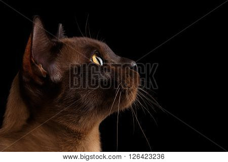 Closeup Portrait of Burmese Cat in Profile view Isolated on black background