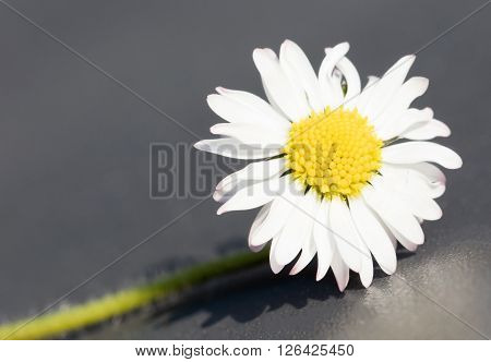 Closeup of a perfect single daisy against a grey background