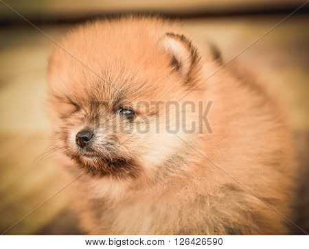 Cute Pomeranian Spitz dog puppy sitting at home portrait. Colorful purebred animal portrait in the house on the carpet.