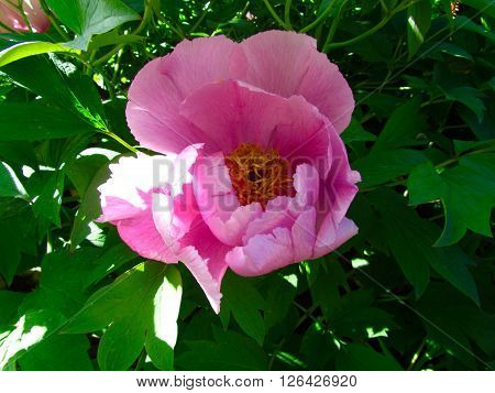 Pink Peony Flower in Sunshine In Spring